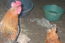 Птичи грип в село Преславец – майтап бе Уили!