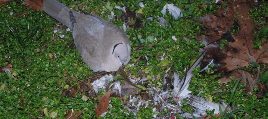 Намериха мъртви гугутки в Харманли
