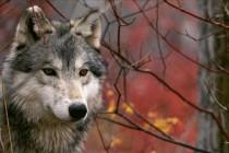 Вълци изядоха три жребчета в село Златоустово