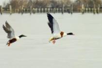 Природозащитниците преброиха 38 000 белочели гъски