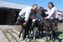 Крава роди три теленца в Симеоновград