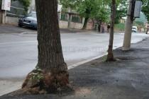 От община Харманли най-после реагираха за асфалтираните дървета