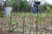 Градушка унищожи зеленчука в Хлябово