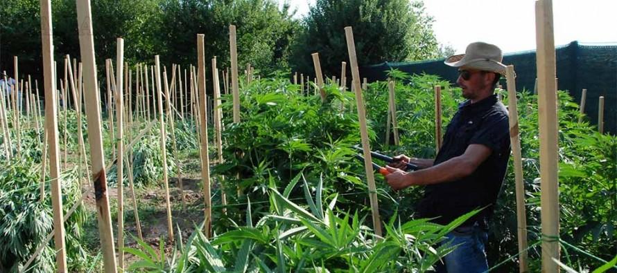 Образцова градина с канабис откриха харманлийски полицаи