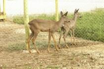 Бракониери застреляха два елена
