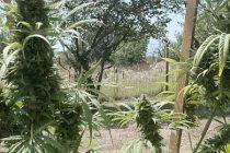 Мъж отглежда марихуана в двора си, друг се разхожда с нея