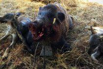 Ловният сезон за едър дивеч  започна с отстрел на няколко глигана