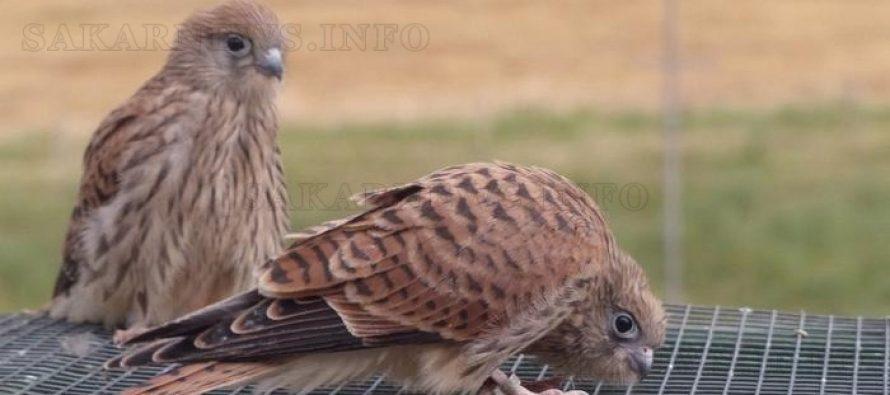 2016 е най-успешната за размножаването на белошипата ветрушка (Falco naumanni)
