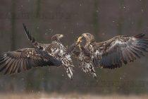 Откриха ново гнездо на морски орел край Тунджа