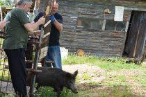 Ловджии пуснаха на свобода диви прасета
