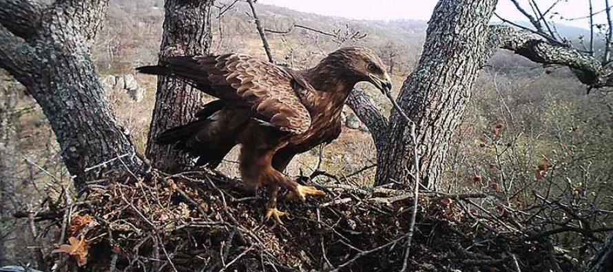 Природозащитници се сдобиха с уникални снимки на малък креслив орел
