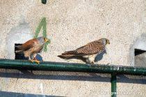 Природозащитници върнаха белошипата ветрушка  в България