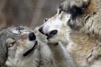 В Радовец освен диви свине  отстреляха и вълци