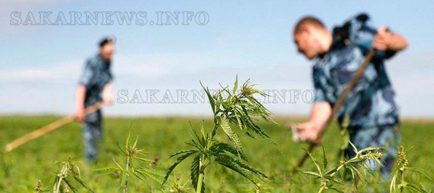 """Започна """"жътвата"""" на марихуана в областта"""