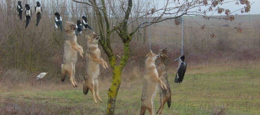 Хищници и свраки висят на дърво