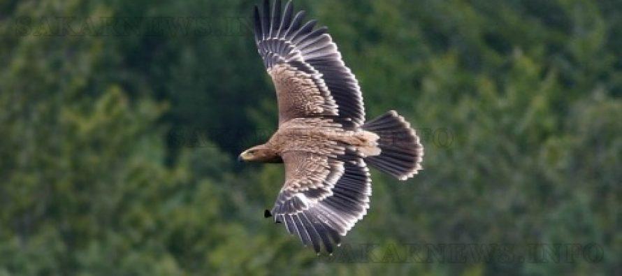Дръвчета осигуряват бъдеще за царския орел
