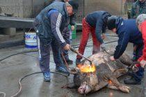 """В """"Бамзи"""" започнаха 2018-та с 350-килограмово прасе за клиенти и гости на автокомплекса"""