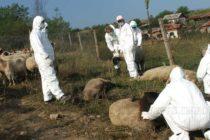 Умъртвиха 80 кози, овце и ярета заради бруцелозата