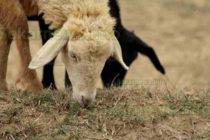 Чума по дребните животни стресна  стопани