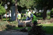 Премахнаха сухи и опасни дървета в центъра на Харманли