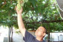 Гроздовата реколта може  да пострада от многото  летни дъждове