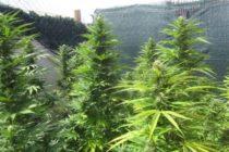 Над 50 конопени растения и суха маса иззеха криминалисти