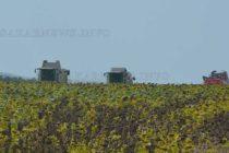 Слънчогледите обещават добра реколта. Засега.