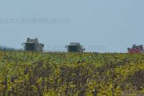 Усилено прибират слънчогледовата реколта