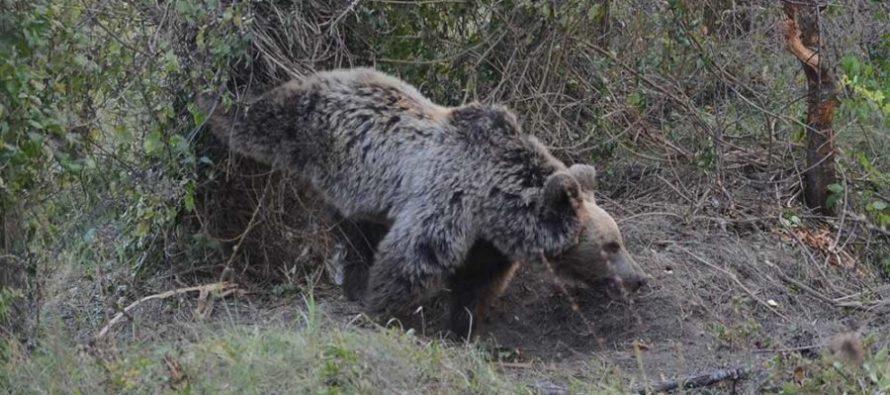 Спасиха мечка попаднала в примка