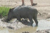 Димо от Бориславци си опитоми диво прасе