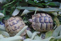 На митницата задържаха две костенурки от застрашен вид