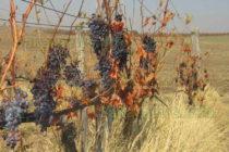 По нова мярка ще плащат на  лозари, да не оглеждат грозде