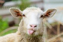 Ще се състои информационен семинар за овцевъди и козевъди