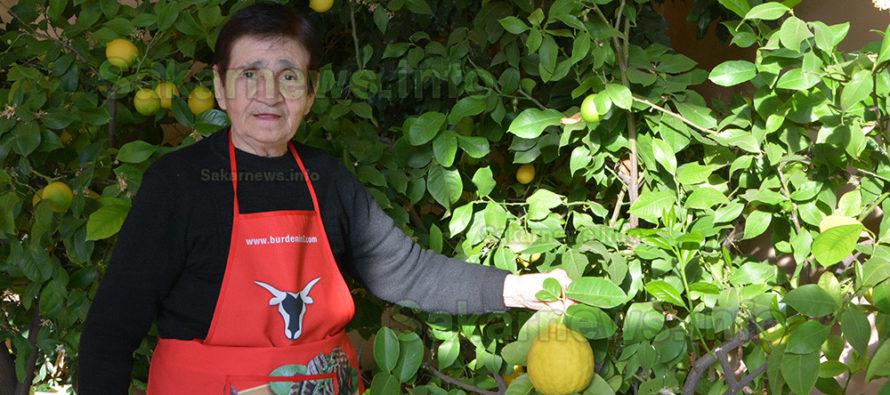 Лимони – гиганти отглежда  леля Стойна в с. Оряхово