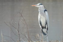 Различни водолюбиви птици се събраха до Стария мост