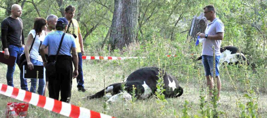 Умряха 28 крави,  не казват от какво