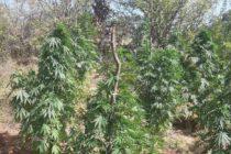 Отнеха 19 растения марихуана от производител на канабис