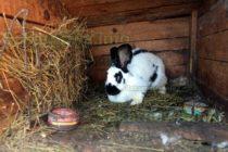 Чума натръшка зайците в Тополовградско