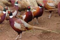 От ЛРД – Тополовград разселиха фазани