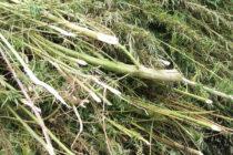 Откриха плантация от марихуана в Змиярника край Пъстрогор