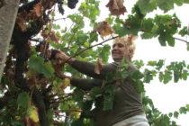 Започна беритбата на гроздето в Сакарския край